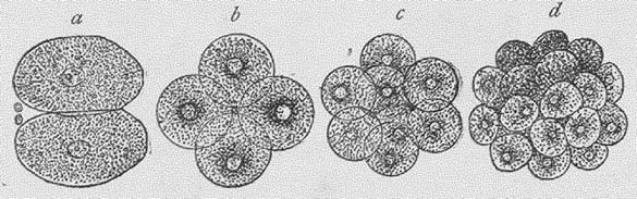 A mammal growing from a single cell. From Hird, Dennis. 1903. An easy outline of evolution. London, Watts & Co.