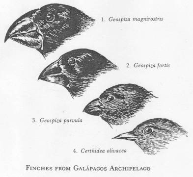 Darwin S Observations Finches On Galapagos Islands