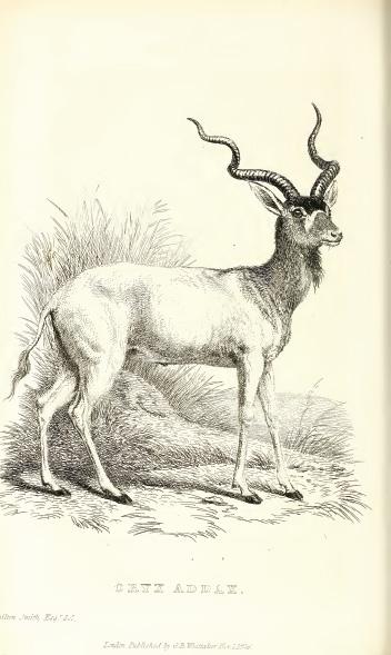 operation gazelle sinai