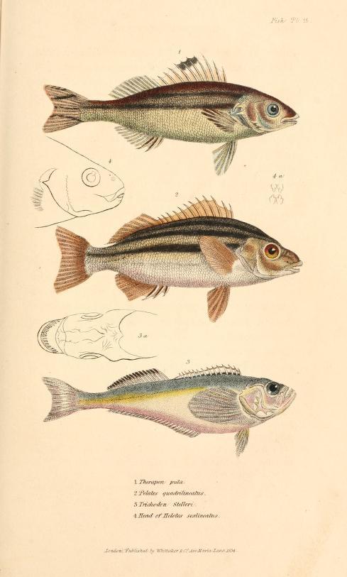 1827-35_Cuvier_A761.10_fig143.jpg