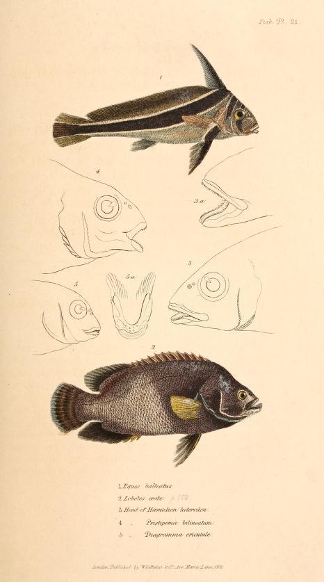 1827-35_Cuvier_A761.10_fig201.jpg