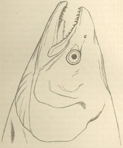 Fig 27 Head Of Female Salmon