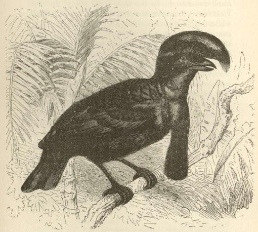 The Umbrella Bird Or Cephalopterus Ornatus Male From Brehm