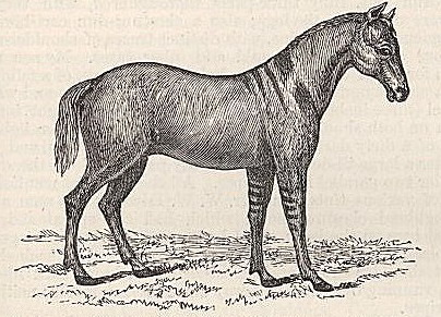 Fig. 1-Dun Devonshire Pony, with shoulder, spinal, and leg stripes.