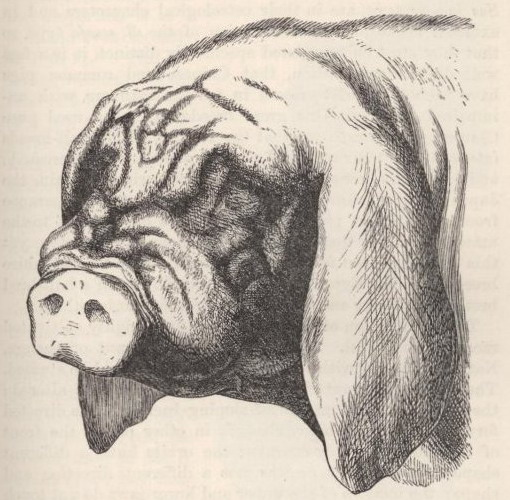 Fig. 2—Head of Japan or Masked Pig.