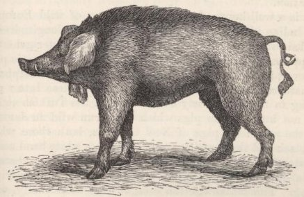 Fig. 4—Old Irish Pig, with jaw-appendages.