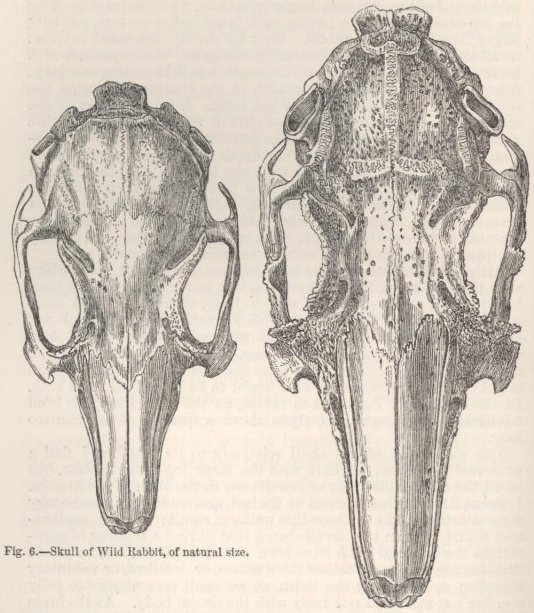 Fig. 6—Skull of Wild Rabbit. Fig. 7—Skull of large Lop-eared Rabbit.
