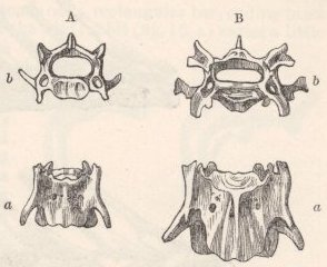 Fig. 13—Third Cervical Vertebr#230;, of natural size, of—A. Wild Rabbit; B. Hare-coloured, large, Lop-eared Rabbit.