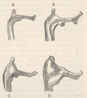 Fig. 16—Acromion of Scapula, of natural size. A. Wild Rabbit. B, C, D, Large, Lop-eared Rabbits.