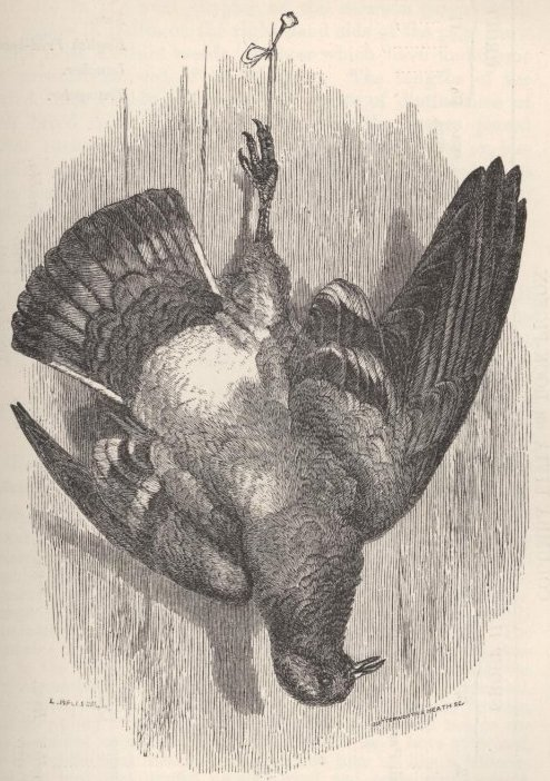 Fig. 17—The Rock-Pigeon, or <i>Columba livia.</i>