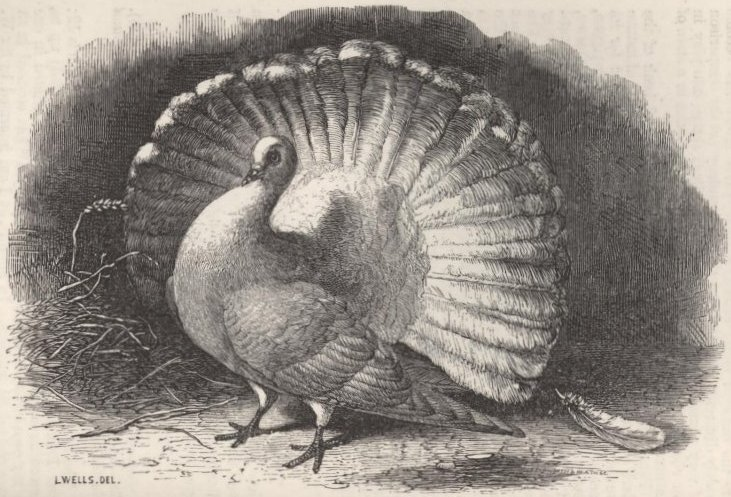 Fig. 21—English Fantail.
