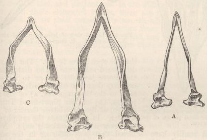 Fig. 25—Lower jaws, seen from above.