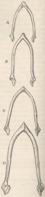 Fig. 29—Furcula of Pigeons.