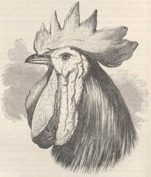 Fig. 30—Spanish Fowl