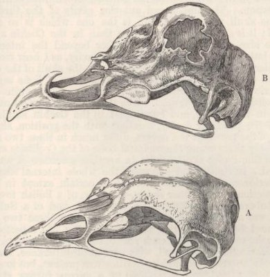 Fig. 34—Skulls of Fowls