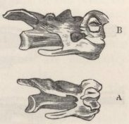 Fig. 37—Sixth Cervical Verterbra of Fowls