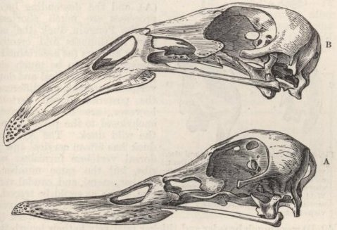 Fig. 39-Skulls of Ducks, viewed laterally