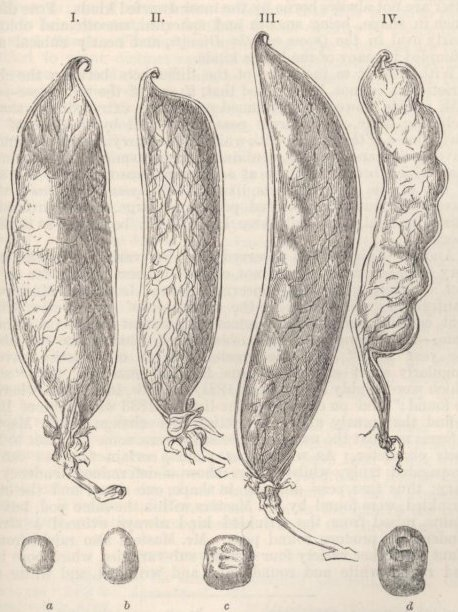 Fig. 41.—Pods of the Common Pea