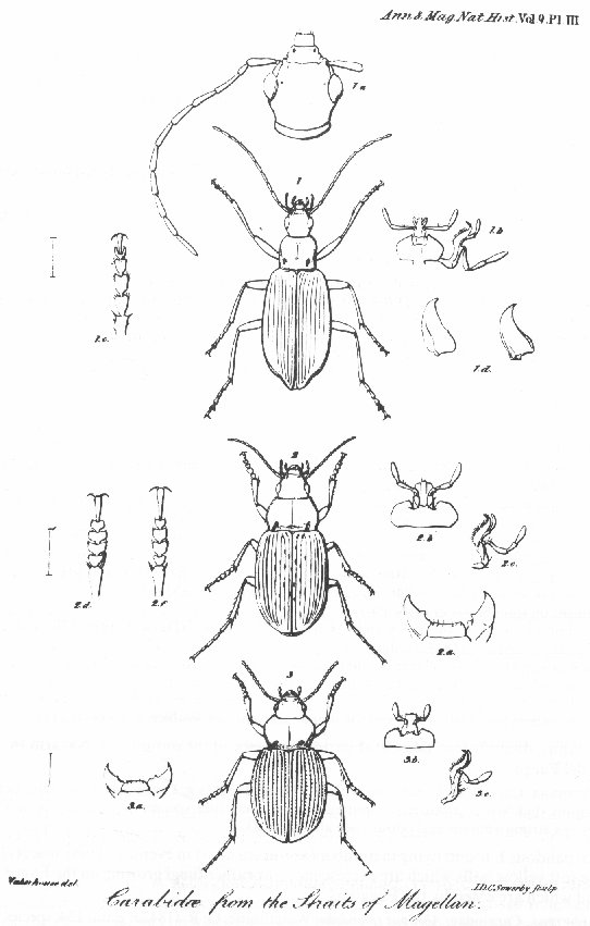 CANTHARIDAE (TELEPHORIDAE): from Coleoptera of the British Islands [Annotated]